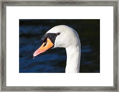 Swan Water Droplets  Framed Print by David Pyatt