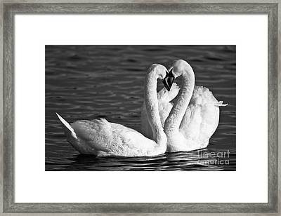 Swans Framed Print by Brandon Broderick