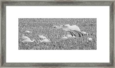 Swans Setting Down Framed Print by Thomas Young