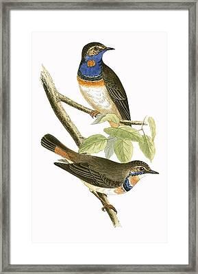 Swedish Blue Throated Warbler Framed Print by English School