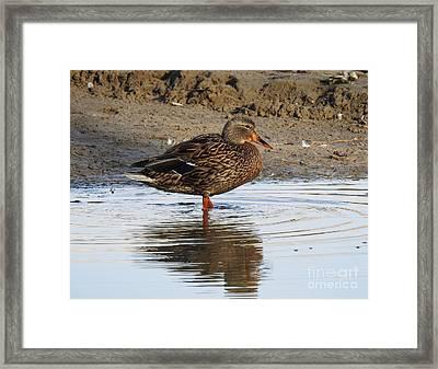 Sweet Duck At Sunset Framed Print by Brenda Landdeck