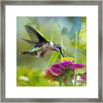 Sweet Success Hummingbird Square Framed Print by Christina Rollo