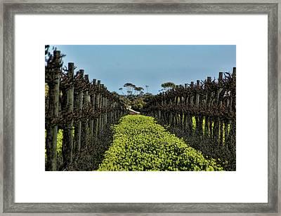 Sweet Vines Framed Print by Douglas Barnard