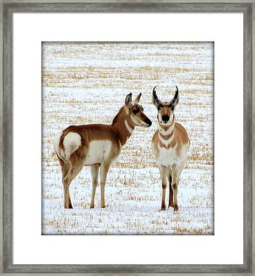 Sweetwater Pronghorn Framed Print by Leah Grunzke