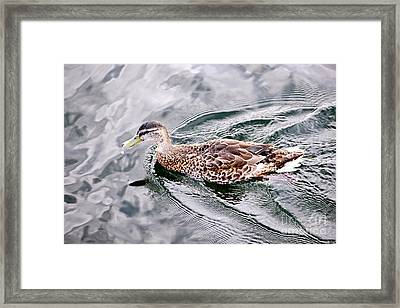 Swimming Duck Framed Print by Elena Elisseeva