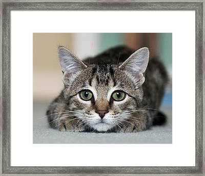 Tabby Kitten Framed Print by Jody Trappe Photography