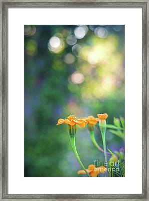 Tagetes Dawn Framed Print by Tim Gainey