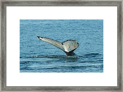 Tail Of The Whale Framed Print by Mike Dawson