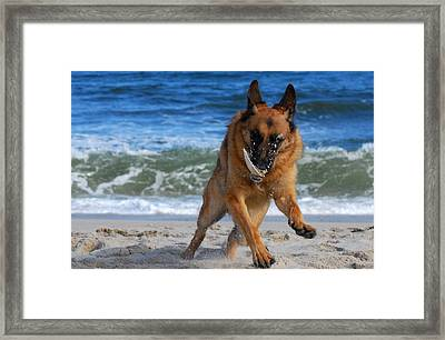 Take Off With A Clam Shell - German Shepherd Dog Framed Print by Angie Tirado