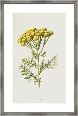 Tansy Framed Print by Frederick Edward Hulme