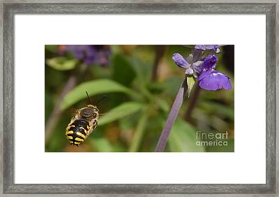 Target In Sight - Honey Bee  Framed Print by Steven Milner