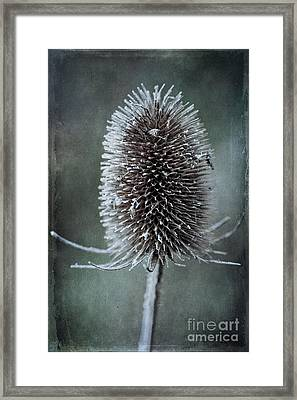 Teasel Framed Print by John Edwards