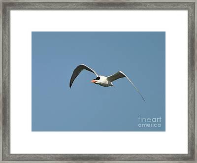 Tern Flight Framed Print by Al Powell Photography USA