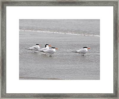 Terns Wading Framed Print by Al Powell Photography USA
