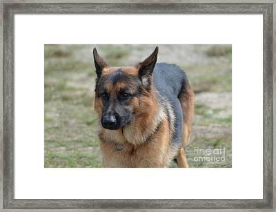 Terrific Markings On A German Shepherd Dog Framed Print by DejaVu Designs