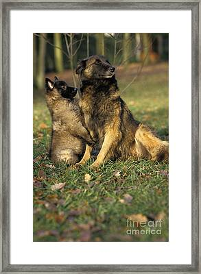 Tervuren Or Belgian Shepherd Dog Framed Print by Gerard Lacz