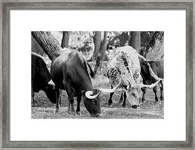Texas Longhorn Steer In Black And White Framed Print by Alan Look