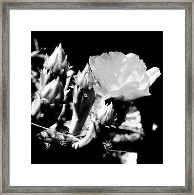 Texas Rose IIi Framed Print by James Granberry