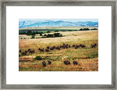 The American Bison Herd Framed Print by Tamyra Ayles