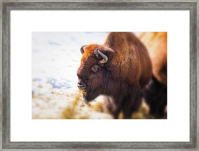 The American Bison Framed Print by Karol Livote