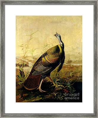 The American Wild Turkey Cock Framed Print by John James Audubon