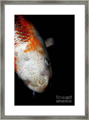 The Ancient One . Koi Fish . 7d5486 Framed Print by Wingsdomain Art and Photography