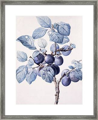 The Branch Of A Plum Tree Framed Print by Pierre Joseph Redoute
