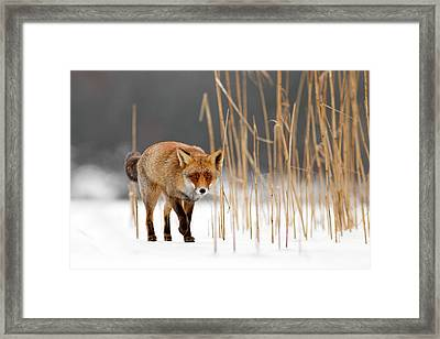 The Catcher In The Reed - Red Fox Walking On Ice Framed Print by Roeselien Raimond