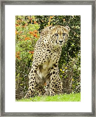 The Cheetah Stare Framed Print by Lynn Andrews