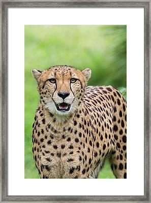 The Cheetah Stare  Framed Print by Saija Lehtonen