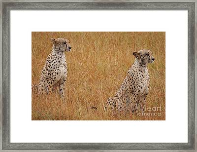 The Cheetahs Framed Print by Stephen Smith