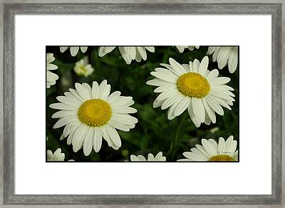 The Common Daisy Framed Print by James C Thomas