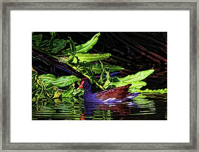 The Common Gallinule Framed Print by HH Photography of Florida