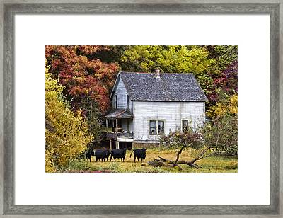 The Cows Came Home Framed Print by Debra and Dave Vanderlaan