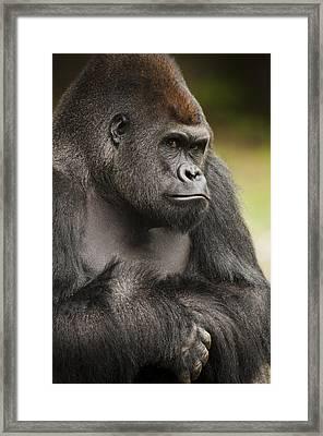 The Gorilla Look Framed Print by Chad Davis