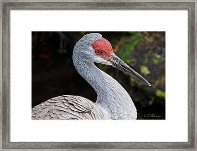 The Greater Sandhill Crane Framed Print by Christopher Holmes