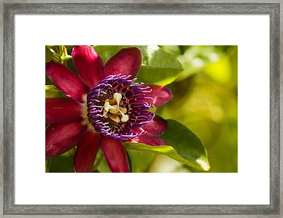 The Heart Of A Passion Fruit Flower Framed Print by Andres Leon