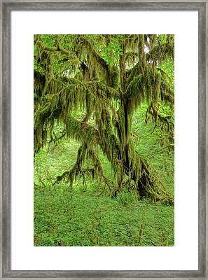 The Hoh Rainforest Framed Print by Dan Sproul