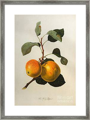 The Kerry Pippin Framed Print by William Hooker