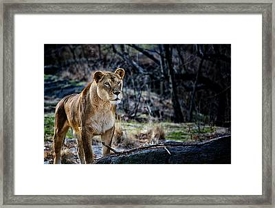 The Lioness Framed Print by Karol Livote