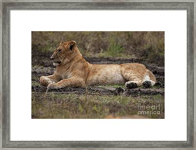 The Lioness Framed Print by Stephen Smith