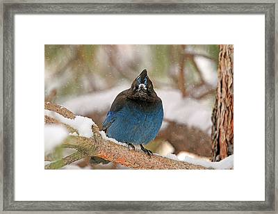 The Mad Blue Jay Framed Print by Donna Kennedy