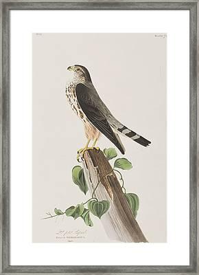 The Merlin Framed Print by John James Audubon