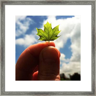 The Mighty Maple Framed Print by Michelle Calkins
