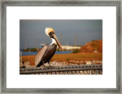 The Most Beautiful Pelican Framed Print by Susanne Van Hulst
