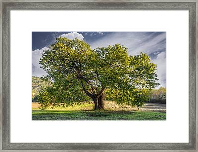 The Mulberry Tree Framed Print by Debra and Dave Vanderlaan