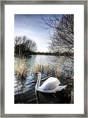 The Peaceful Swan Framed Print by David Pyatt