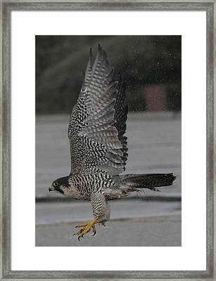 The Peregrine Falcon Framed Print by Christopher Kirby