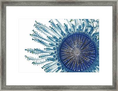 The Pigment Of A Blue Button Jellyfish Framed Print by David  Liittschwager