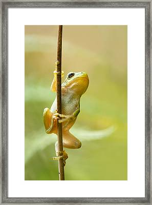 The Pole Dancer - Climbing Tree Frog  Framed Print by Roeselien Raimond